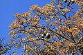 Malta - Attard - San Anton Gardens - Ceiba speciosa 15 ies.jpg
