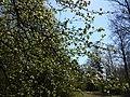 Malus sylvestris sl29.jpg