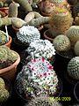 Mamillaria bocasana? (3422590908).jpg