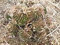 Mammillaria polyedra (5742365172).jpg