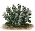Mammillaria vetula BlKakteenT68.jpg