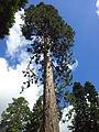 Mammutbaum im Bodnant Garden.jpg