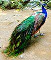 Manila Zoo IndianBluePeafowl by TeamJonalynViray.jpg