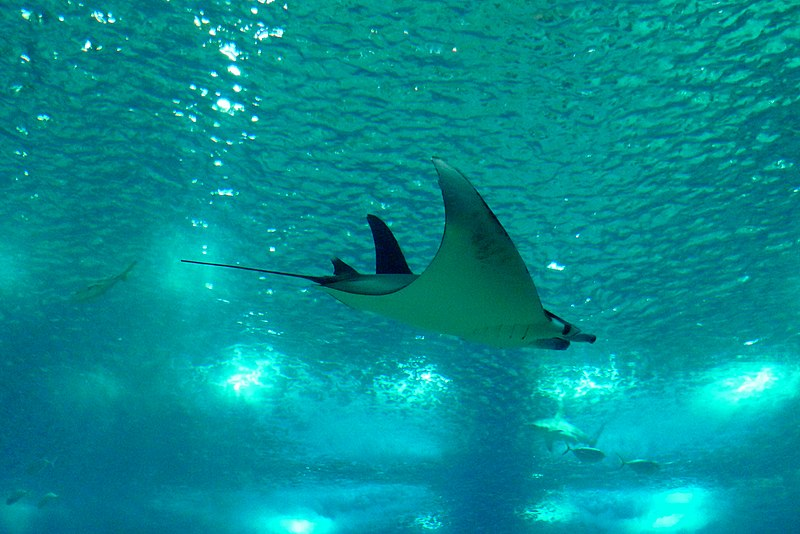 Manta ray flying @ Oceanário de Lisboa