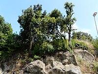 Vegetazione cresciuta sul peperino in località Colle Licia al chilometro 5 della strada statale 217 Via dei Laghi.