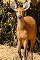 Marsh Deer (Blastocerus dichotomus) doe on the road ... (30866430893).jpg