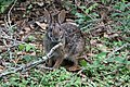 Marsh Rabbit Sabine Woods Sabine Pass TX 2018-03-31 10-23-43 (39474649670).jpg