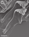 Marstonia comalensis radula 3.png
