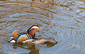 Mating Mandarin Ducks.jpg