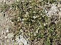 Matricaria chamomilla plant (18).jpg
