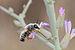 Megachile incerta male 1.jpg