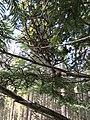 Melampsorella caryophyllacearum1.jpg
