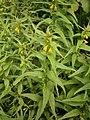 Melampyrum sylvaticum RHu 02.JPG