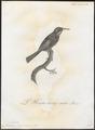 Meliphaga novae-hollandiae - 1802 - Print - Iconographia Zoologica - Special Collections University of Amsterdam - UBA01 IZ19200021.tif