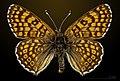 Melitaea cinxia MHNT CUT 2013 3 27 Avilly-Saint-Léonard dorsal.jpg