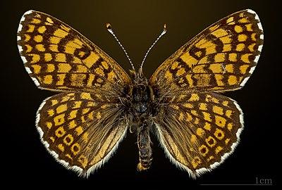 Melitaea cinxia MHNT CUT 2013 3 27 Avilly-Saint-Léonard dorsal