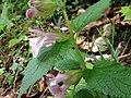 Melittis melissophyllum - 6560.jpg