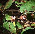 Melochia nodiflora, known as Bretonica Prieta (9906137603).jpg