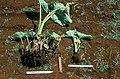 Meloidogyne javanica on Colocasia esculenta.jpg