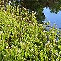 Menyanthes trifoliata Bobrek trójlistkowy 2018-04-28 01.jpg