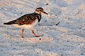 Mexico-6834 - Beach Bird - A Ruddy Turnstone (4745630788).jpg