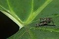 Micropezidae at Kadavoor.jpg