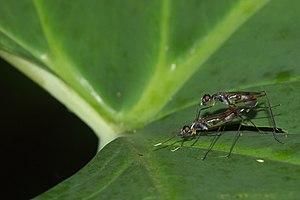 Micropezidae - Mating pair