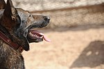 Military Working Dogs training in Baghdad, Iraq DVIDS173838.jpg