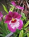 Miltonia Celle -香港花展 Hong Kong Flower Show- (9207603966).jpg