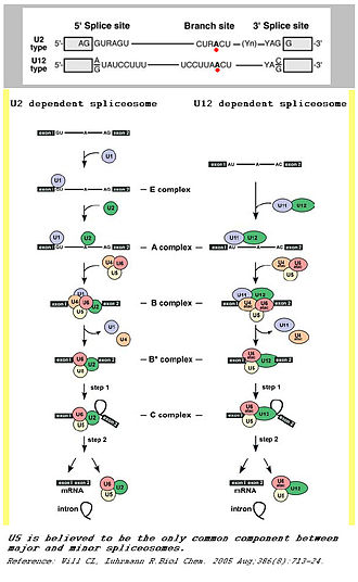 Small nuclear RNA - A comparison between major and minor splicing mechanisms