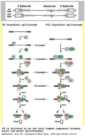 Minor spliceosome - A comparison between major and minor splicing mechanisms