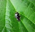 Miridae. Liocoris tripustulatus (25744902328).jpg
