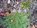Misopates orontium (Flowers).jpg
