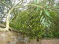 Mistletoe Myddelton House Gardens Enfield.JPG