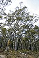 Mixture of Eucalyptus haemastoma and Eucalyptus macrorhyncha.jpg