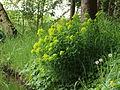 Moeraswolfsmelk (Euphorbia palustris)..JPG