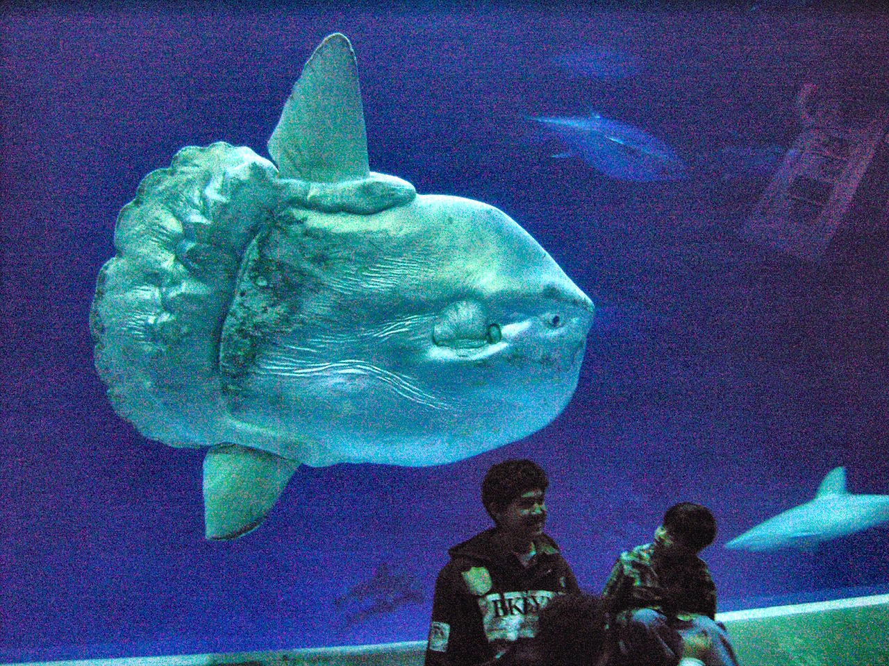 File Mola Mola Ocean Sunfish Monterey Bay Aquarium