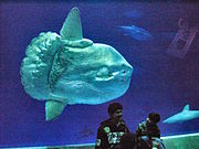 A tank at the Monterey Bay Aquarium provides a size comparison between an ocean sunfish and humans