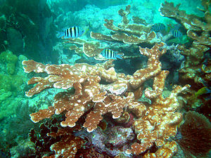 Florida Reef - Elkhorn coral (Acropora palmata) on Molasses Reef