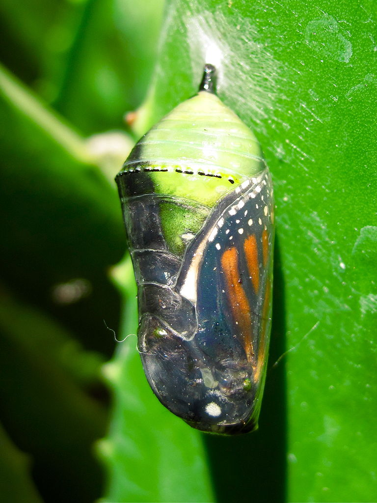 davidd / CC BY https://commons.wikimedia.org/wiki/File:Monarch_Butterfly_%28Danaus_plexippus%29_Chrysalis.jpg