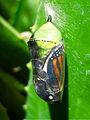 Monarch Butterfly (Danaus plexippus) Chrysalis.jpg