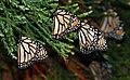 Monarch butterflies. (49796668021).jpg