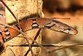 Montane Trinket Snake Coelognathus helena monticollaris by Dr. Raju Kasambe DSCN5610 (12).jpg