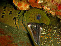 Moray EEl and Cleaner Shrimp.jpg