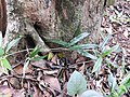 Morinda reticulata-1-chemungi hill-kerala-India.jpg