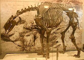 Moropus - M. elatus specimen, AMNH