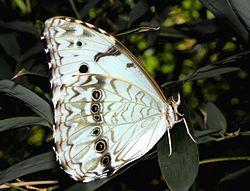 Morpho Epistrophus Argentinus Wikipedia La Enciclopedia Libre