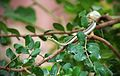Mountain bronzeback tree snake.jpg