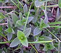 Mouse-ear Chickweed (49194520408).jpg