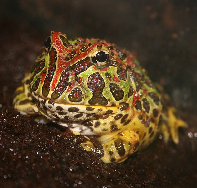 Argentine Or Ornate Horned Frog Care The Pac Man Frog And Its